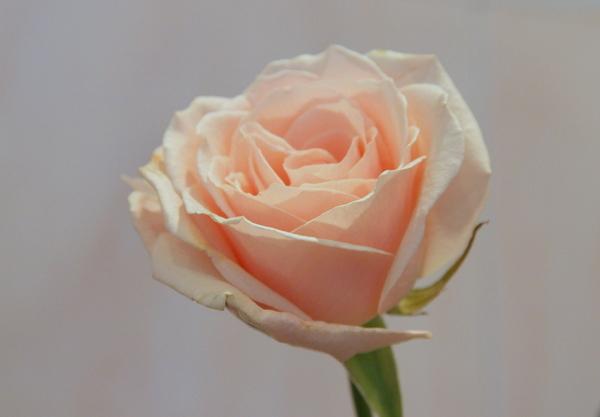 цвет чайной розы фото