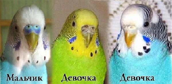 Как назвать попугая девочку красивым именем