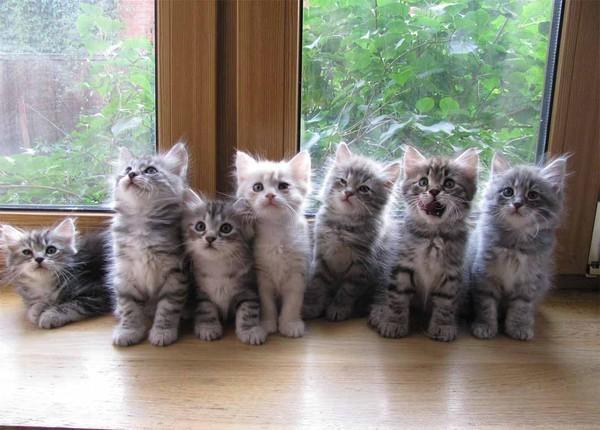 породистые кошки с котятами фото