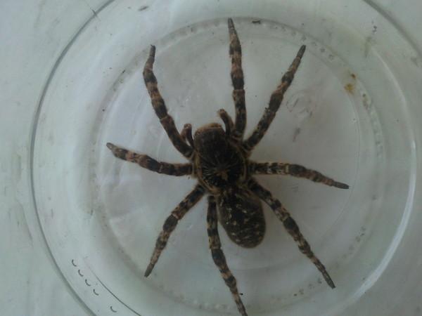 Как узнать по фото что за паук
