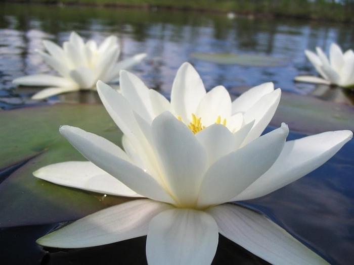 фото красивые белые цветы