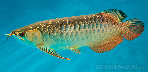 Самые дорогие аквариумные рыбы фото