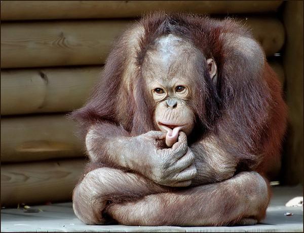 Половой член человека отличается от обезьян