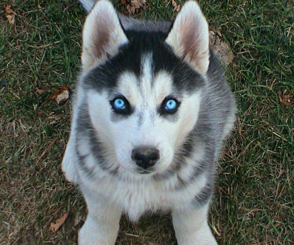 хаски с голубыми глазами картинки