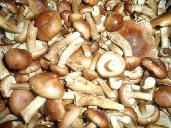 грибы которые растут кучками фото