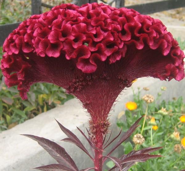 несколько десятилетий бархатные цветы название и фото вот, однажды мне
