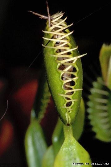 Цветок который питается насекомыми