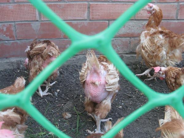 Цыплята попка грязная