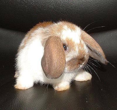 купить домашнего кролика в иваново курсы
