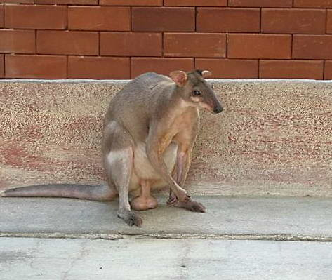9bf496db1ed2 Ответы Mail.ru: Есть ли у самца кенгуру сумка?