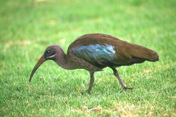фото птицы хадада всего бирюзовый оттенок