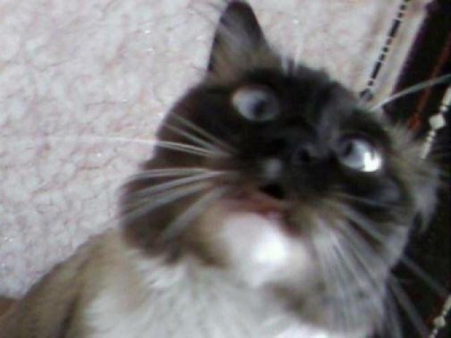 Породы котов с косыми глазами