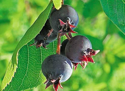 Черная ягода похожая на чернику