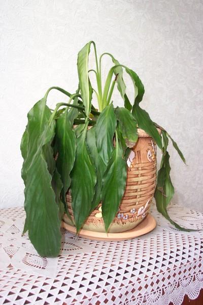 После пересадки спатифиллум опустил листья