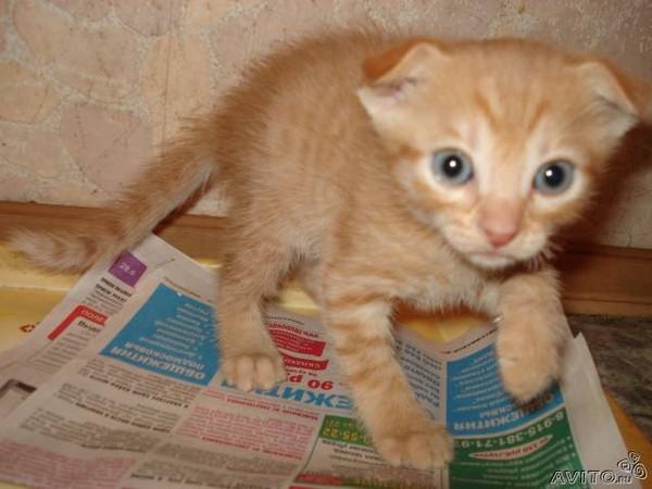 Что будет если скрестить вислоухого кота и британскую кошку