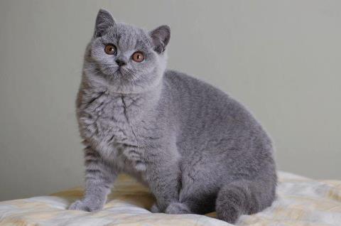 Как отличить кота шотландца от британца