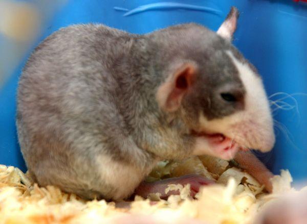 Сколько длится беременность у крыс