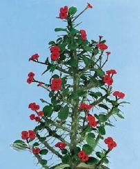 Колючие цветы с красными цветами фото