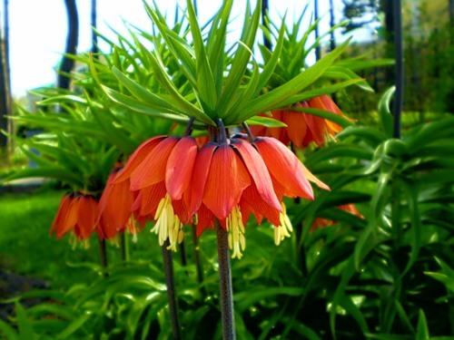 Императорская корона цветок