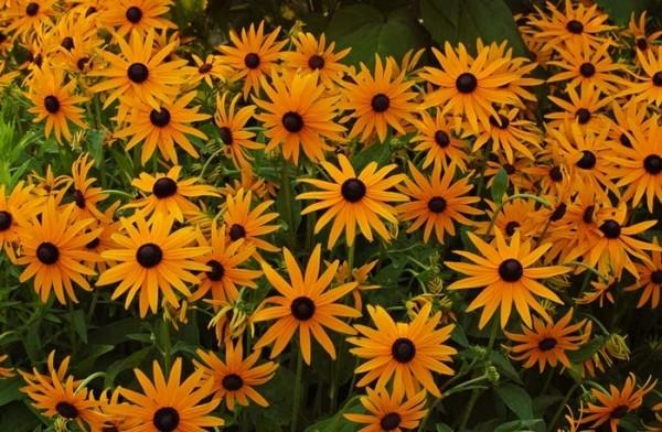 Сюзанна черноглазая цветок