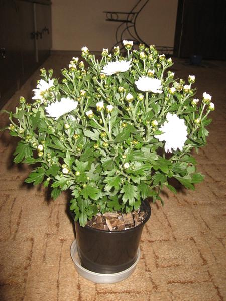 Когда нужно пересаживать комнатные хризантемы фото