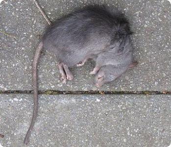 чтобы белье сонник крыса огромная дерется лет