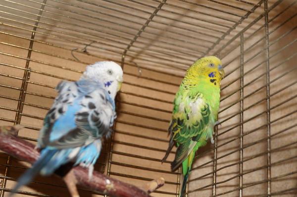 Волнистый попугай с закрытым