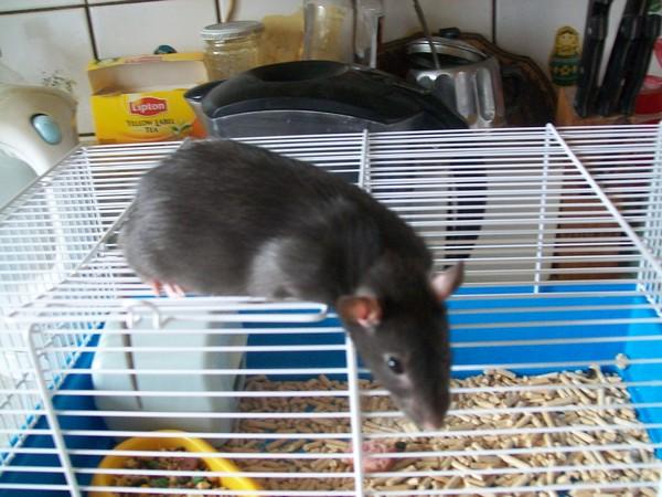Почему декоративная крыса похудела