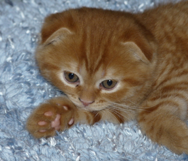 тогда какие будут котята если скрестить вислоухого с вислоухой участок