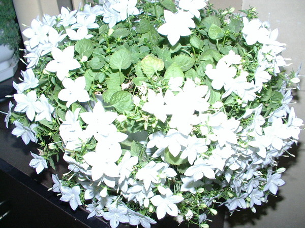 Как называется цветок невеста и жених