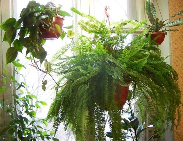 Ампельные комнатные растения фото и названия
