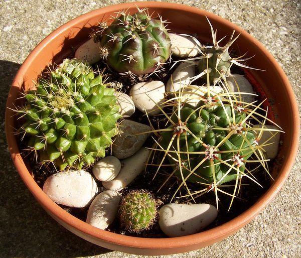 домашние кактусы виды и уход в