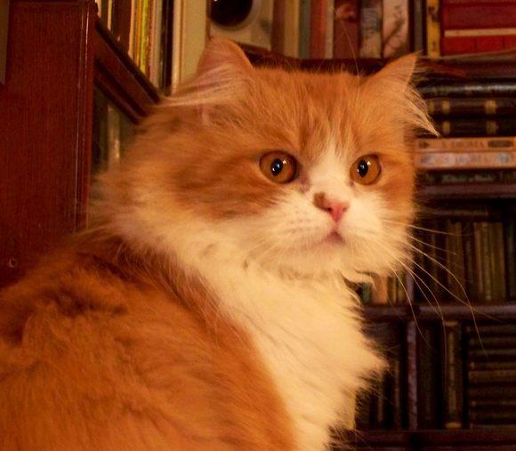 кот персидский классический фото