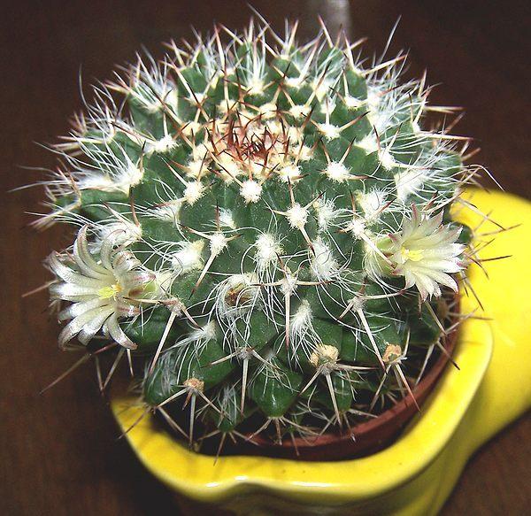 заявления какие бутоны у кактусов фото кельвины быть