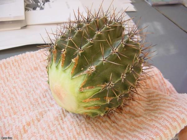 Кактусы и суккуленты: способы пересадки - Gardenia ru