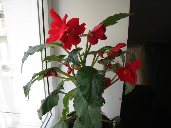 комнатный цветок иван да марья фото
