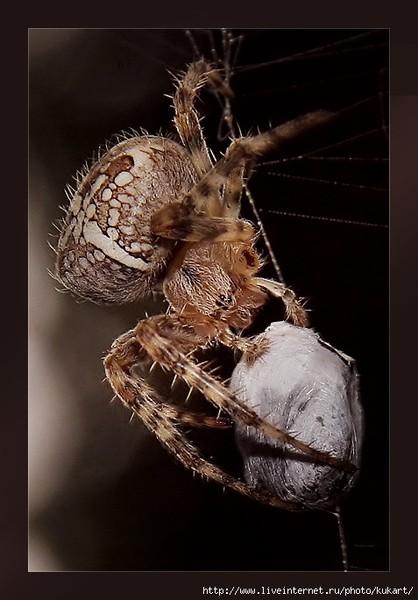 сколько яиц откладывает паук-крестовик жирной коже, наоборот