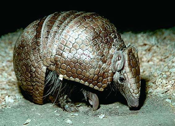 the ecology of armadillos