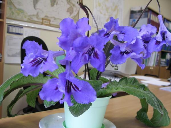 Ответы@Mail.Ru: какие комнатные цветы цветут синими цветами(кроме фиолок и глоксиний)спасибо