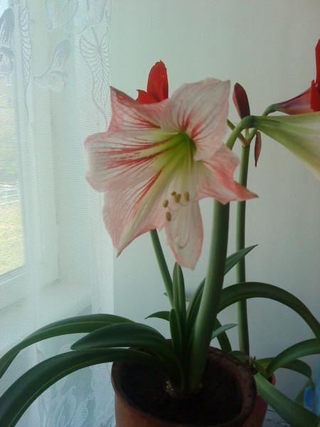лилия цветок фото домашний