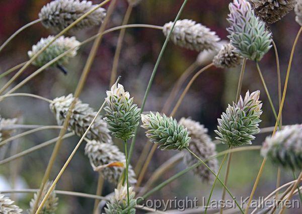 фото канареечное семя