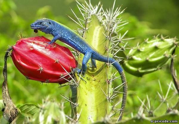 ящерица с синим языком фото