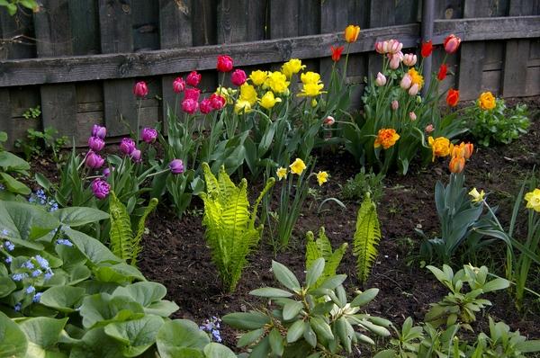 Когда сажать гиацинты и тюльпаны 11