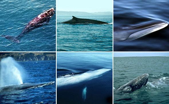 Пенис китов видео