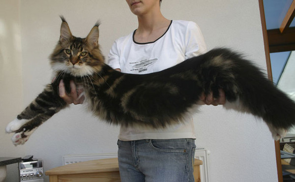 Коты порода майкун