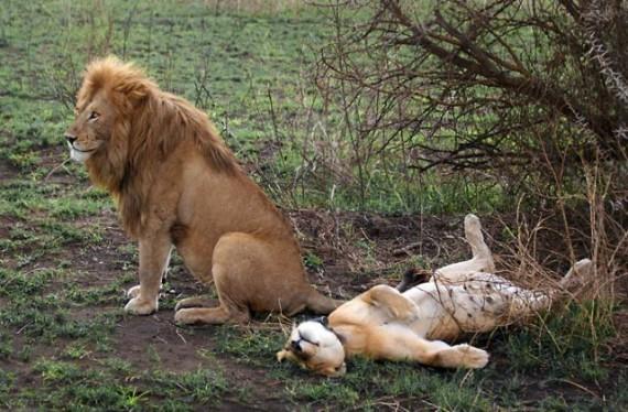 секс со львицами