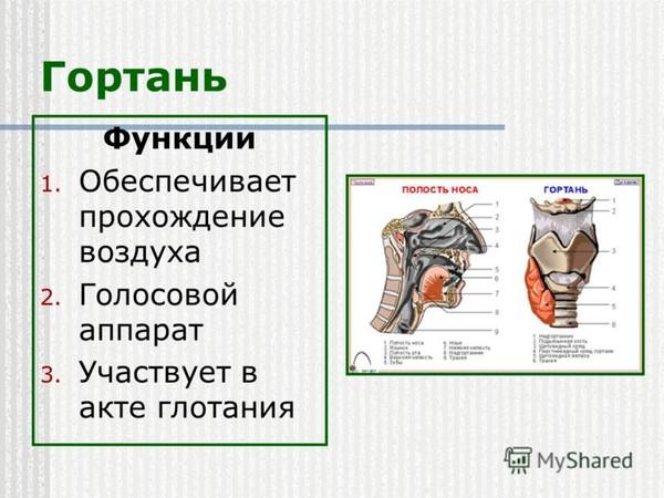 Ответы Mail.Ru: какую функцию выполняет гортань? срочно помогите!!!