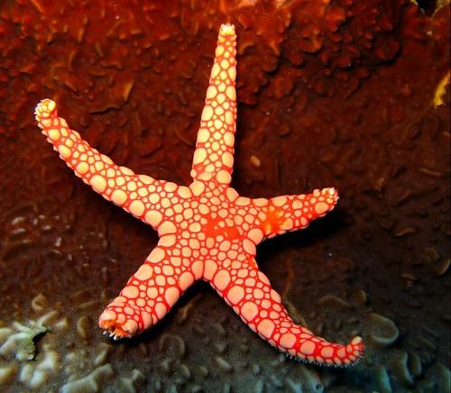 Картинки по запросу морская звезда вывернула желудок