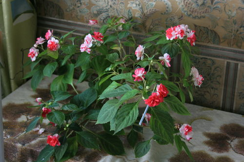 мокрый ванька фото цветов