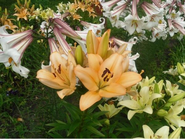 Может ли лилия поменять цвет
